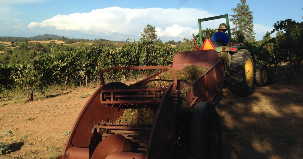 Spreading grape skins in the vineyard after the first day of harvest.
